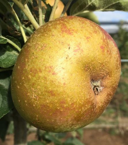 Campbelltown Russet Apple (dwarf)
