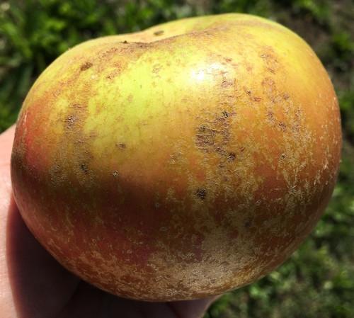 Campbelltown Russet Apple (medium)