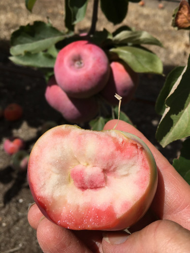 Eagle Point Star Apple (medium)