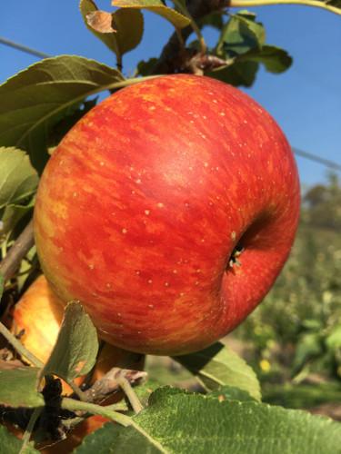 Lord Lambourne Apple (dwarf)