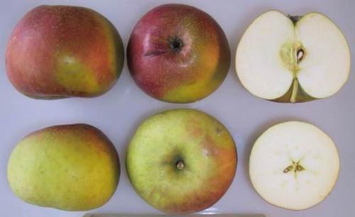 Scarlet Nonpareil Apple (dwarf)