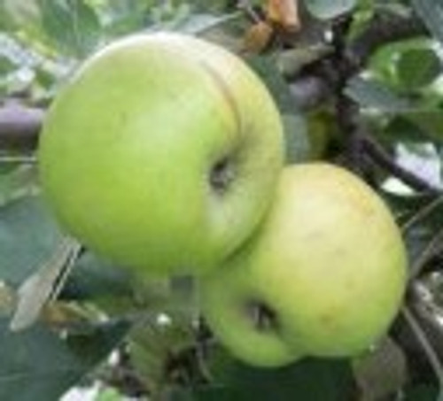 Cimetiere de Blangy Apple (tall)