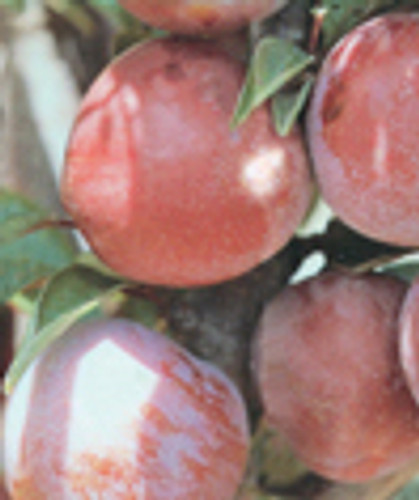 Narrabeen Japanese Plum
