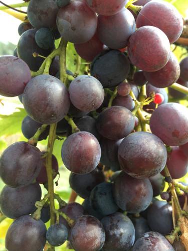 Cardinal Grape