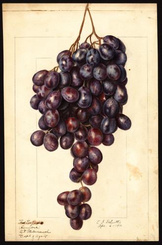 Red Emperor Grape