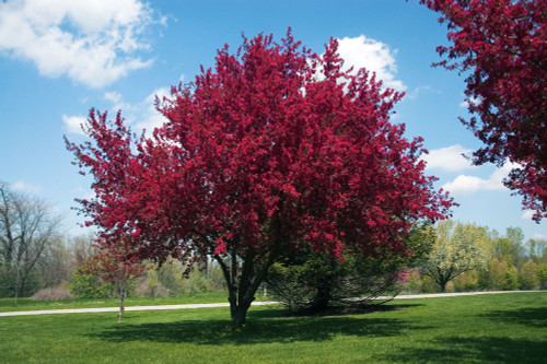 Red Flowering Crabapple (Malus ioensis 'Rubra')