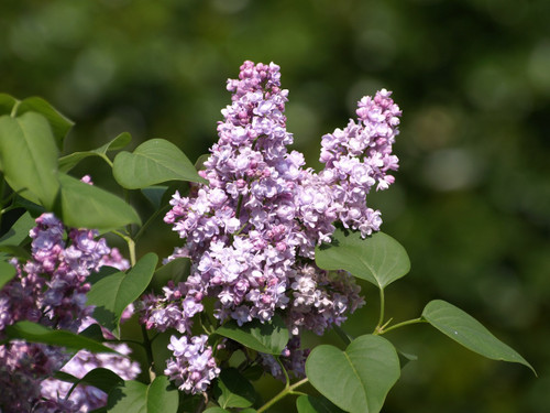 Alice Eastwood Lilac