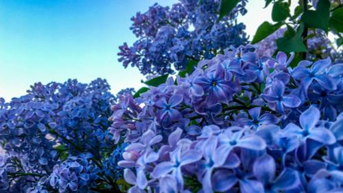Blue Hyacinth Lilac