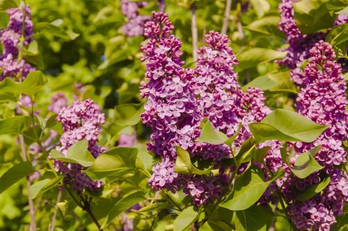 Congo Lilac