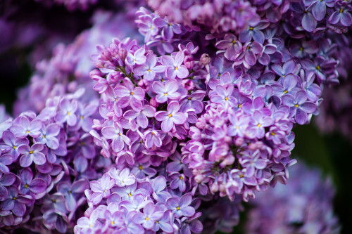 Olivier De Serres Lilac