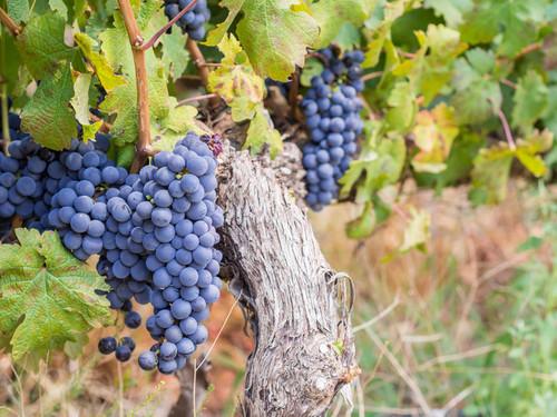 Cabernet Sauvignon Grape