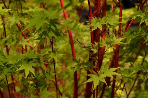 Coral Bark Maple (Acer palmatum 'Senkaki')