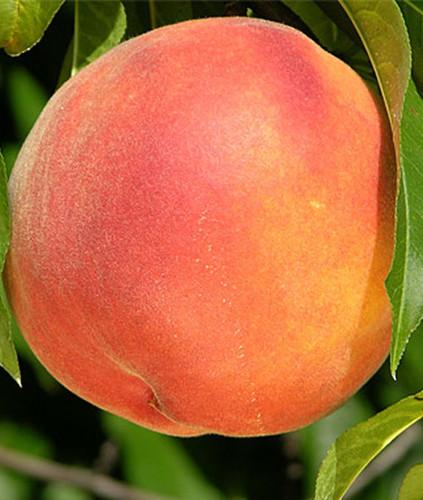 Crimson Rocket Peach (dwarf columnar)