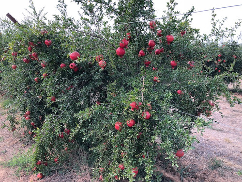 Early Valley Pomegranate
