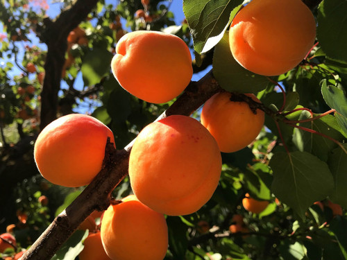 Fireball™ Apricot (dwarf)