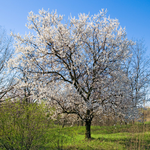 Flowering Apricot (Prunus mumé 'Alboplena')