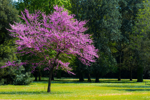 Judas Tree (Cercis siliquastrum)