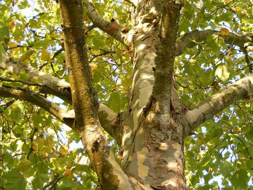 London Plane (Platanus × acerifolia)