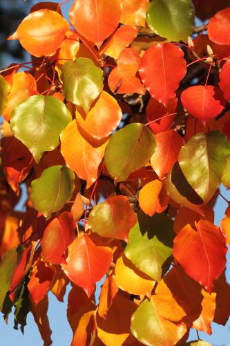 Manchurian Pear (Pyrus ussuriensis)
