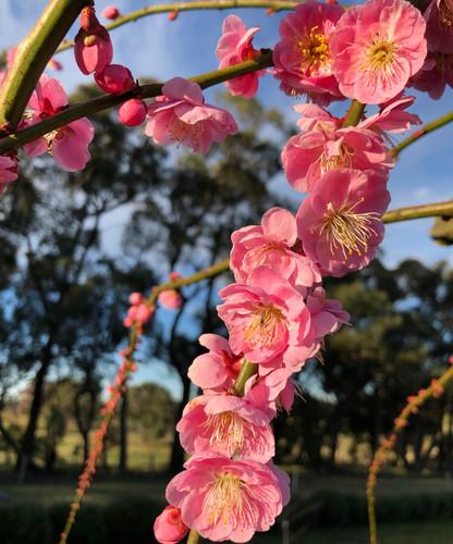 Pink Flowering Apricot (Prunus mumé)