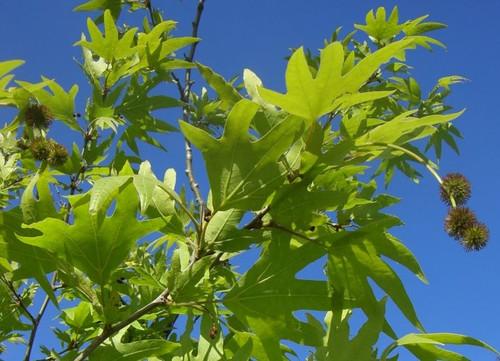 Autumn Glory Plane Tree (Platanus orientalis var. insularis 'Autumn Glory')