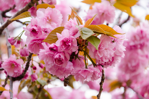 Prunus 'Kanzan' Flowering Cherry