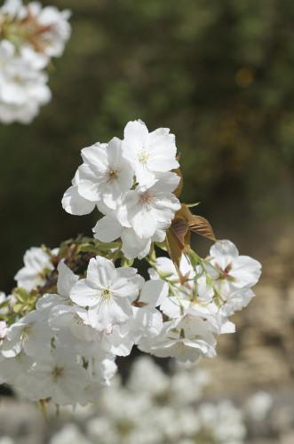 Prunus 'Tai-Haku' Flowering Cherry