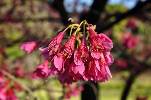 Prunus campanulata Formosan Cherry Flowering Cherry
