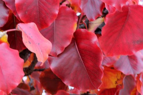 Pyrus calleryana 'Autumn Blaze'