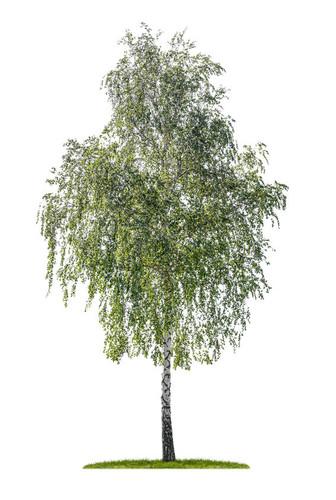 Silver Birch (Betula pendula )