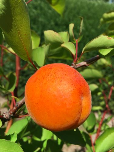 Goldrich Apricot