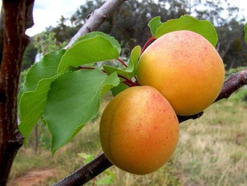 Moorpark Apricot