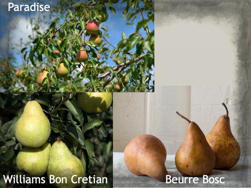 MultiPear - Williams Bon Cretian/Beurre Bosc/Paradise