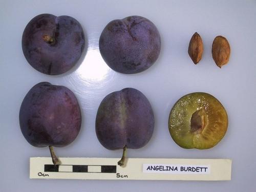 Angelina Burdett European Plum (dwarf)