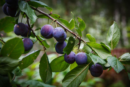 King Billy European Plum (dwarf)