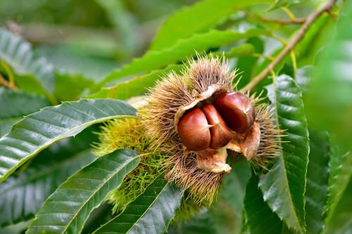 Seedling Chestnut