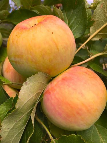 Hazelwood Apple (medium)