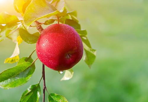 Red Gravenstein Apple (medium)