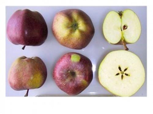 Delicious Apple (super-dwarf)