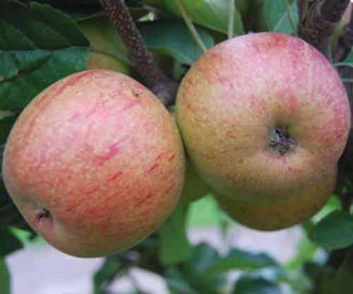 Forfar Pippin Apple (super-dwarf)