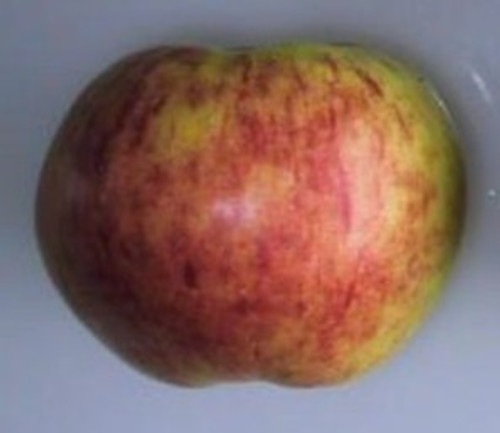Gravenstein Apple (super-dwarf)