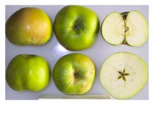 Bramley's Seedling Apple (super-dwarf)