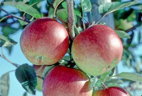 Braeburn Apple (super-dwarf)