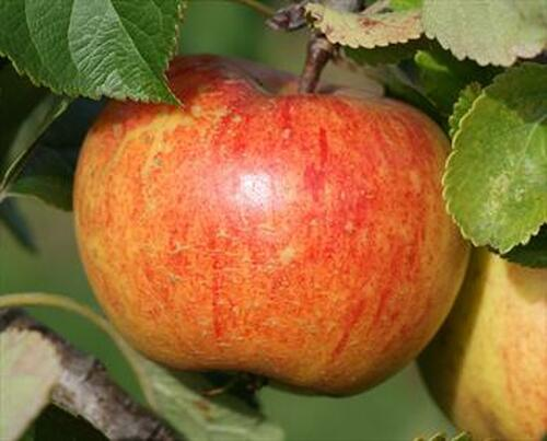 Herald™ Apple (columnar)
