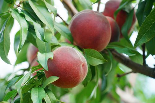 Red Noonan Peach (dwarf)