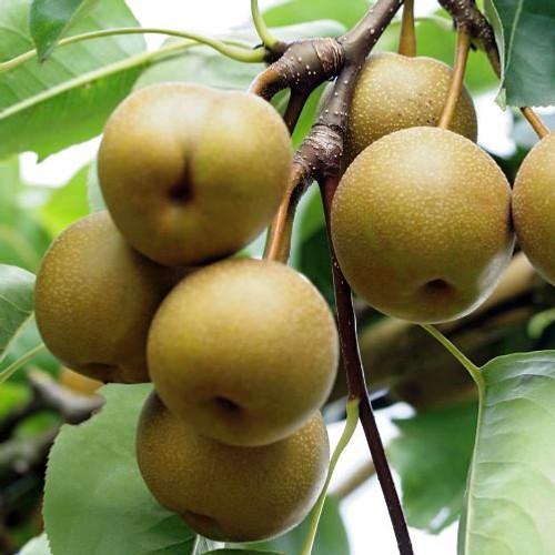 Kosui Nashi (Asian Pear)