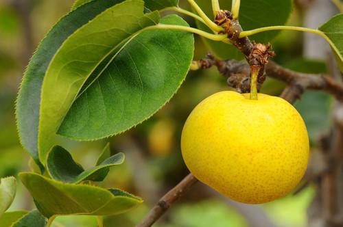 Nijisseiki (20th Century) Nashi (Asian Pear) (semi-dwarf)