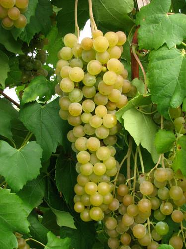 Canadian Muscat Grape