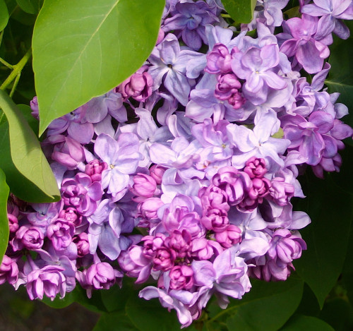 Katherine Havemeyer Lilac