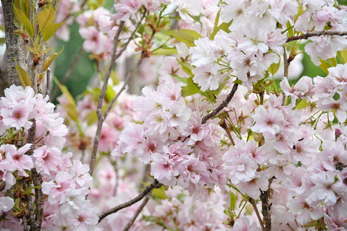Prunus 'Erecta-Amanogawa' Flowering Cherry
